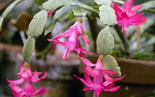 Уход за декабристом во время цветения в домашних условиях