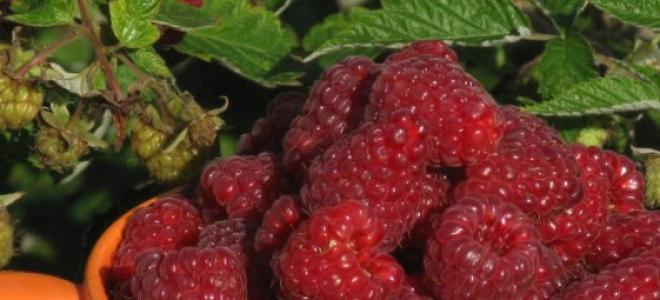Крупноплодная ремонтантная малина Бриллиантовая: урожайность, описание сорта, сроки созревания, фото, отзывы