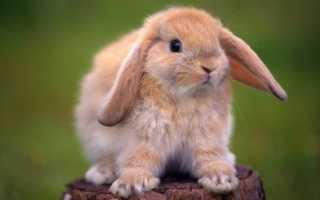 Как правильно определить пол кролика: в 1, 2, 3 месяца, основные отличия, видео