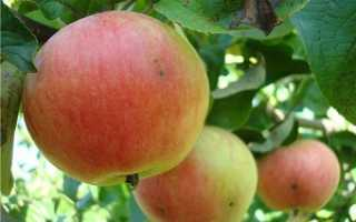 Яблоня Приземлённое: описание и характеристика, высадка и особенности ухода за деревьями, фото