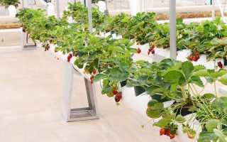 Клубника в трубах: пошаговая инструкция, подходящие сорта, выращивание и уход