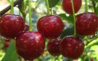 Вишня сорта Маяк: описание, характеристика, особенности выращивания и правила ухода за деревом