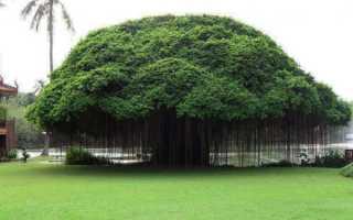 Фикус: родина растения, происхождение, особенности цветения и ухода, фото