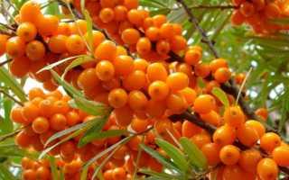 Облепиха: фото и описание дерева или кустарника, как выглядит и цветёт, использование в ландшафтном дизайне