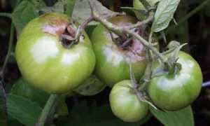 Как обработать помидоры «Метронидазолом»: особенности применения и основные правила приготовления раствора