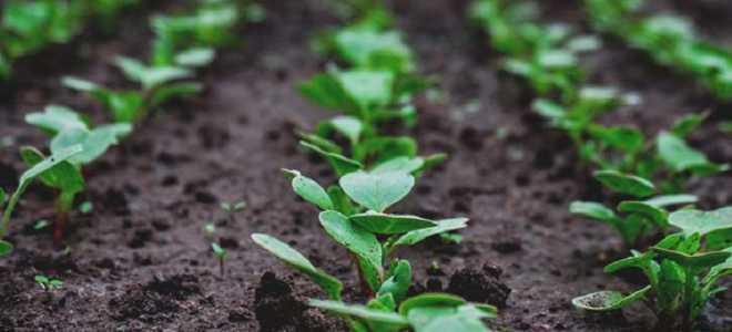 Посадка редиса летом на второй урожай: особенности и сроки посадки, выращивание и уход
