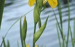 Ирис болотный жёлтый: посадка и уход, применение в ландшафтном дизайне сада, фото и описание
