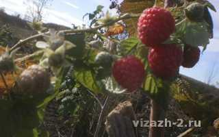 Малина Примара: описание и характеристика сорта, выращивание и уход, фото,отзывы