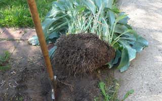 Пересадка вейгелы: когда лучше пересаживать (летом, осенью или весной), как пересадить взрослое растение с одного места на