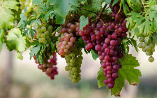 Можно ли виноград диабетикам: польза и вред, норма потребления
