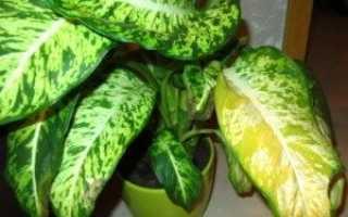 Почему желтеют листья у диффенбахии: причины, что делать