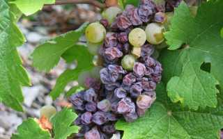 Почему вянут ягоды винограда на кусте и что при этом делать?