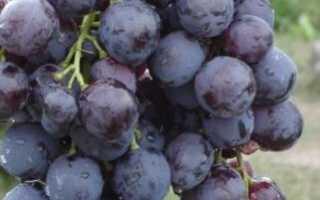 Виноград Кардинал: описание и уход за сортом, польза и вред, калорийность, фото, видео