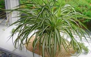 Хлорофитум Оранжевый: характеристика и описание растения, выращивание и уход в домашних условиях, фото