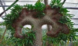Пахиподиум Ламера: уход в домашних условиях, фото, выращивание из семян, цветение, приметы