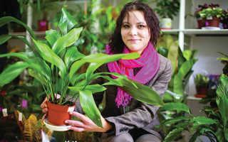 Аспидистра высокая: описание растения, посадка, выращивание и уход в домашних условиях, особенности размножения, фото