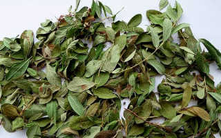 Брусничные листья — лечебные свойства, польза и вред, использование в народной медицине, противопоказания, отзывы