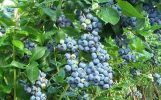 Как и чем правильно подкормить голубику садовую весной, летом и осенью, уход, полив и обработка кустов