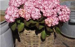 Гортензия Miss Saori (Мисс Саори) крупнолистная: описание, зимостойкость растения, посадка и уход, фото