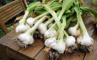 Чеснок «Рокамболь»: фото и описание, посадка и уход, выращивание, полезные свойства
