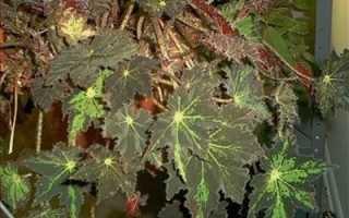 Бегония клеопатра: уход и особенности размножения комнатного растения в домашних условиях