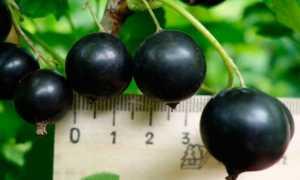 Поздний, крупноплодный сорт чёрной смородины Черешневая: описание, агротехника, фото, отзывы