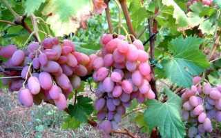 Виноград Водограй: описание сорта и фото, правильный уход