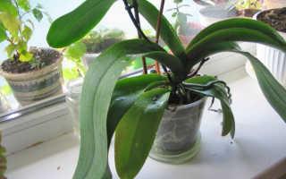 Почему не цветёт орхидея в домашних условиях: что делать, как стимулировать её, видео
