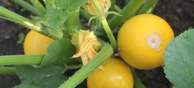 Кабачок Апельсинка: описание и характеристика сорта, выращивание и уход, способы употребления плода