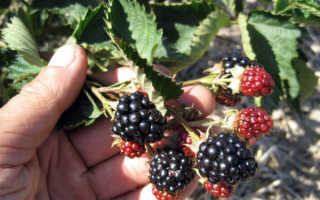 Сорт ежевики без шипов Навахо: характеристика, описание с фото, посадка и уход, отзывы садоводов