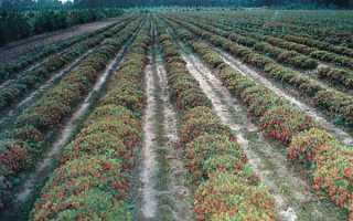 Брусника садовая Ред Перл (Красная жемчужина): описание сорта, посадка и уход, фото