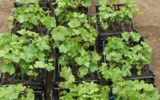 Размножение винограда летом: черенками, отводками