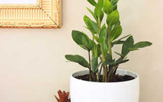 Размножение замиокулькаса в домашних условиях: пошаговое руководство, пересадка, дальнейших уход, фото, видео