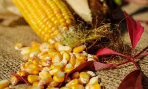 Как закрыть кукурузу в початках на зиму: рецепт консервирования в домашних условиях