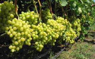 Подкормка винограда осенью удобрениями: нужна ли, доза и основные правила
