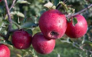 Сорт яблони Память Ульянищева: описание и подробная характеристика, особенности и правила выращивания