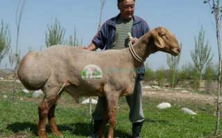 Гиссарская порода овец: внешнее описание, характеристика, достоинства и недостатки, размножение