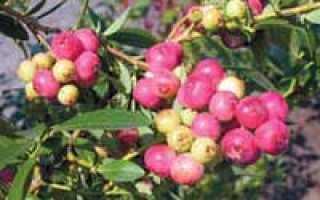Сорт высокорослой голубики Пинк Блюберри (Pink Blueberry): посадка и выращивание, внешний вид, фото