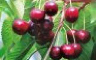 Вишня Брусницына: описание и характеристика сорта, посадка и уход, фото