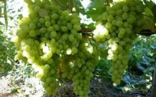 Виноград кишмиш «Столетие»: описание сорта, фото, отзывы