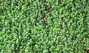 Солейролия (комнатное растение): уход в домашних условиях, фото, размножение, полив, виды, пересадка, польза и вред