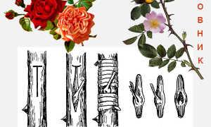 Как привить розу, шиповник на шиповник, когда лучше — весной, летом или осенью: пошаговая инструкция, выбор удобрения