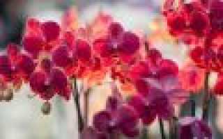 Орхидея уход и размножение в домашних условиях – полив и пересадка
