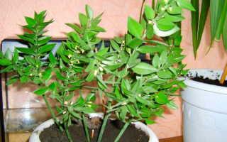 Рускус (иглица): описание, фото, выращивание и размножение
