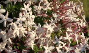 «Жасмин махровый» (чубушник): посадка и уход в открытом грунте, размножение кустарника, сорта с фото и отзывами