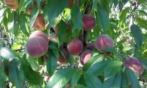 Персик Глория: описание и характеристика сорта, особенности выращивания и ухода, фото