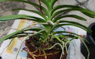 Орхидея в стеклянной вазе: особенности выращивания и ухода, фото