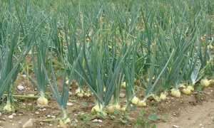 Выращивание чеснока в теплице: преимущества и недостатки, выращивание и уход