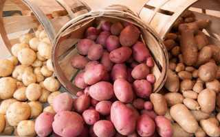 Лучшие сорта картофеля для Урала: описание и особенности выращивания, фото