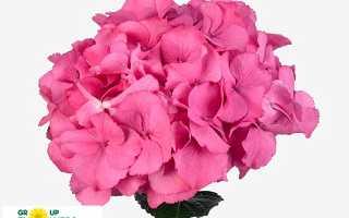 Гортензия Royal Flower (метельчатая Роял Флауэр): описание и фото